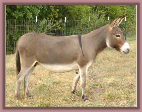 Click photo of mniature donkey to enlarge