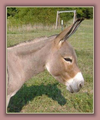 Click photo of miniature donkey to enlarge