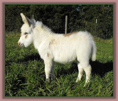 Spotted Miniature Donkey for sale, Little Miracles Bubba Bling