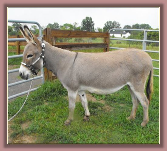 Click photo of miniature donkey for sale to enlarge